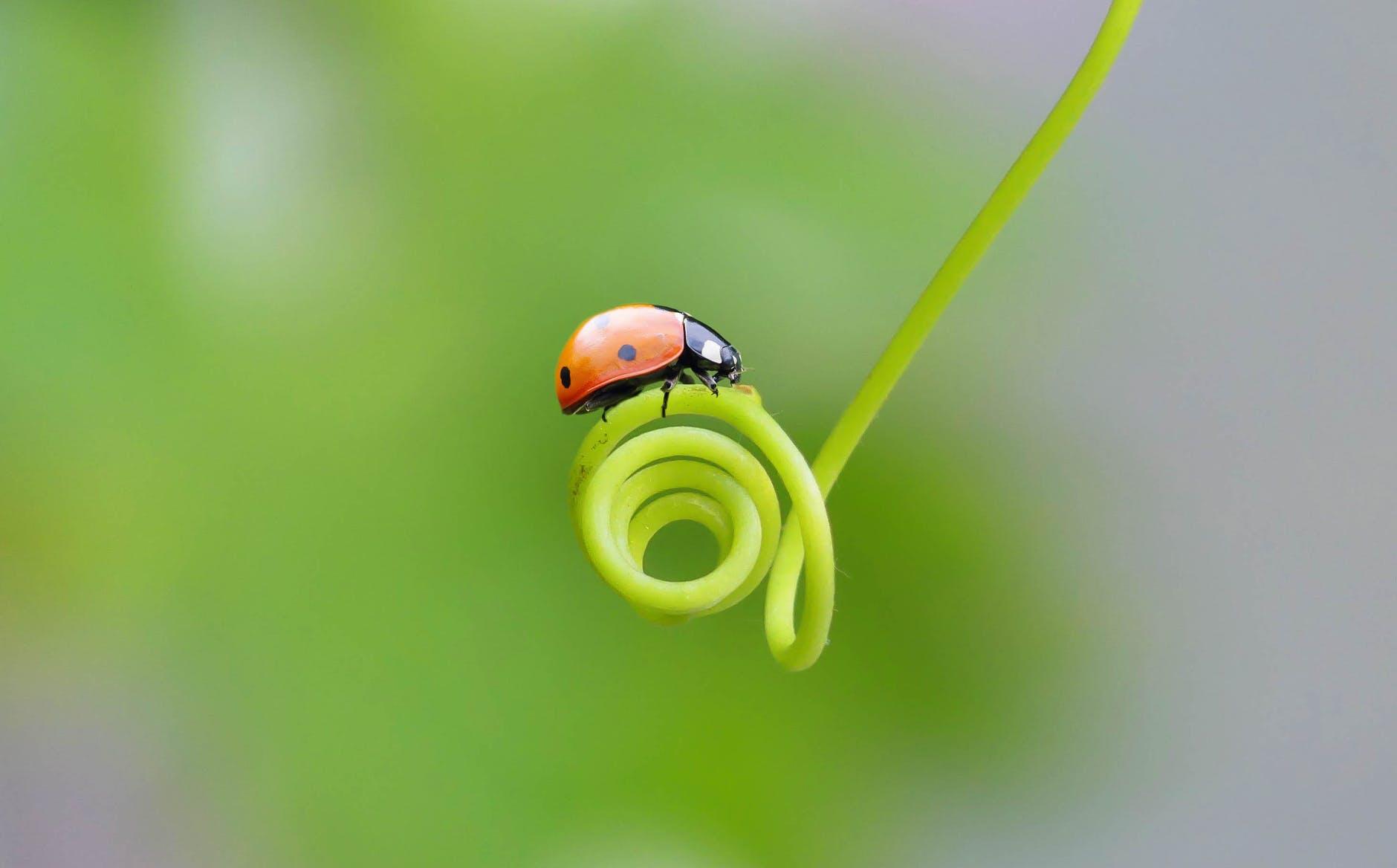 ladybug resting on a spiral plant shoot